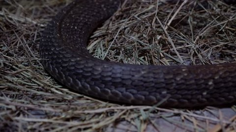 close up of the body and head of a king cobra