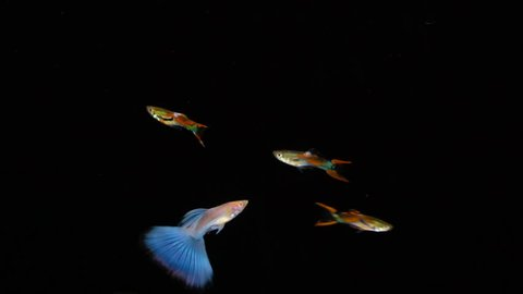 The guppy (Poecilia reticulata), also known as millionfish and rainbow fish, is one of the world's most widely distributed tropical fish, and one of the most popular freshwater aquarium fish species
