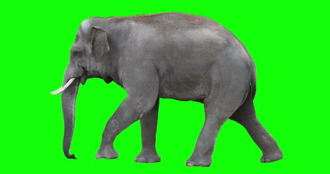 Asian elephant is walking. Isolated and cyclic animation. Can be used as a silhouette. Green Screen