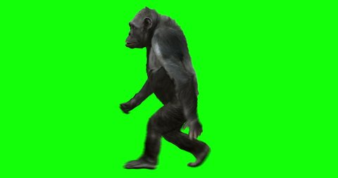 Monkey Chimp (Chimpanzze) walking on two feet. Isolated and cyclic animation. Green Screen.
