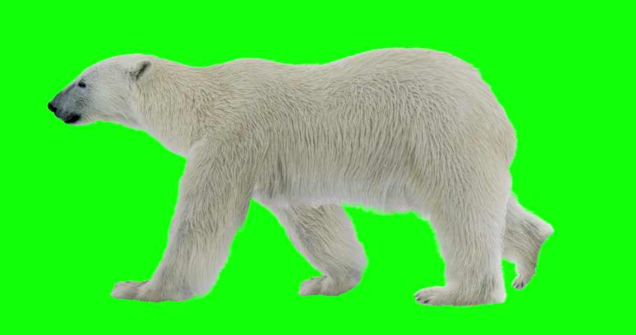 Isolated polar bear cyclical walking. Can be used in real coloring, and as a silhouette. Green Screen.
