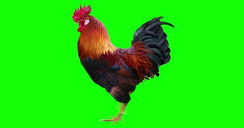 Rooster running. Animation is cyclic and isolated. Green Screen