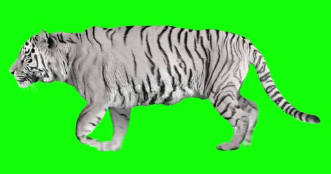White tiger runs trot. Animal isolated for your background. Green Screen
