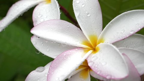 water rain drops on beautiful white frangipani plumeria tropical flower