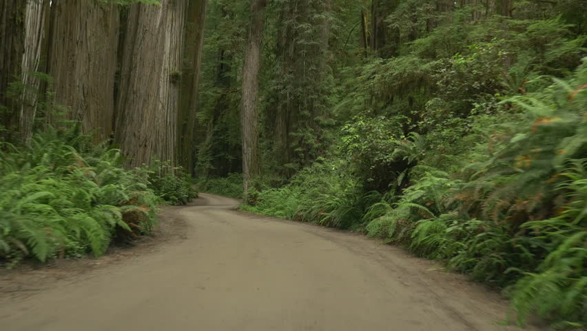 Driving POV in Jedediah Smith Redwoods State Park, Northern California, on a dirt road.