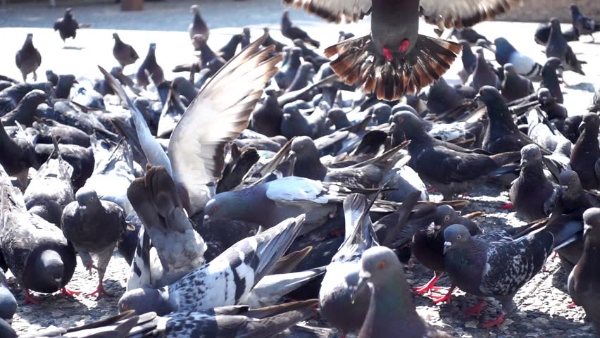 This stock footage presents a close-up shot of a flock of pigeons feeding in the park. They are flying around and walking on the concrete as they feed on the grain in slow motion.