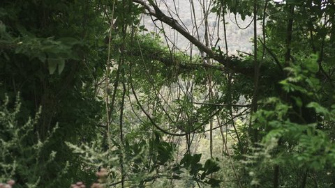 Lianas hanging from trees. Mountain forest during Summer. Tuscany (Italy). Wind moves the foliage.