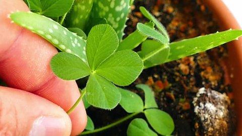 four-leaf clover, 4-leaf special clover plant