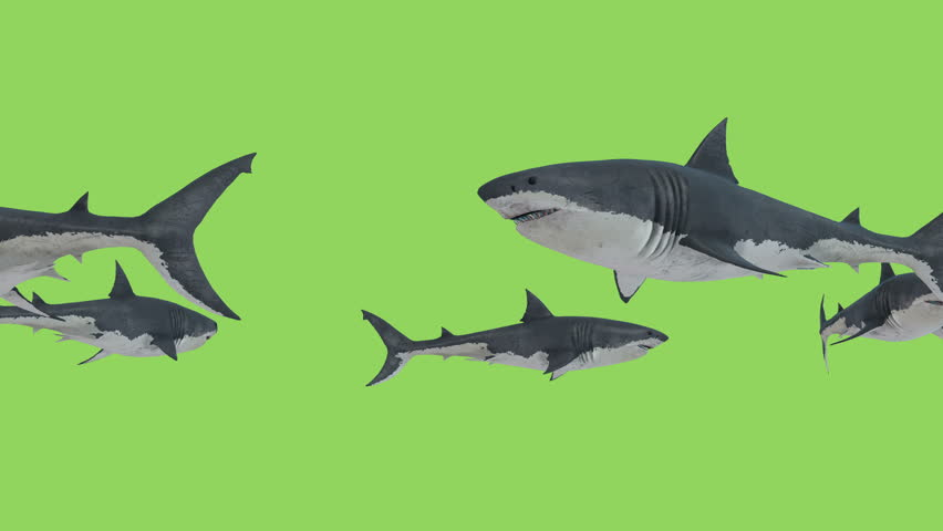 White Sharks in search of prey swims in a circle #1015559197