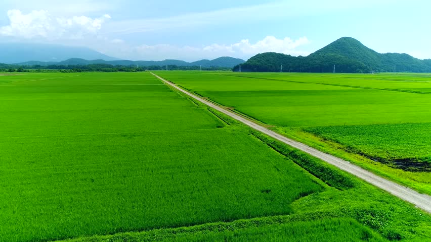 Helicopter Shot for Rice Field in Summer | Shutterstock HD Video #1015572487