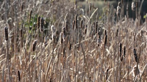 Cattails in a marsh on the Oregon Coast.
