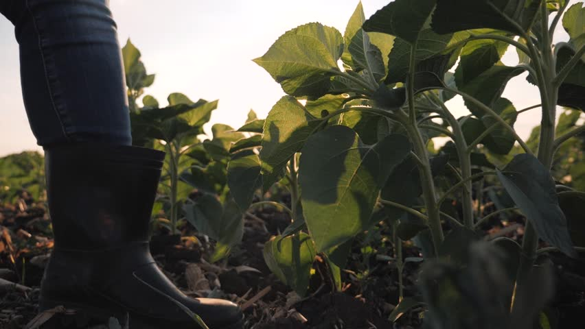 An agronomist or a farmer walking in a young green field of sunflower and studying quality. Close-up of hands and leaves of a young sunflower against the setting sun | Shutterstock HD Video #1015632097