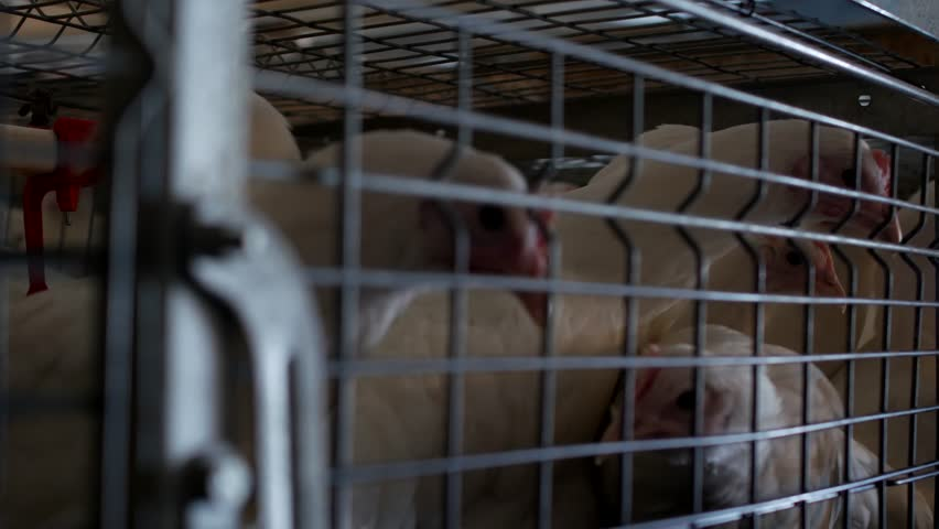 Breeding broiler chickens and chickens, broiler chickens sit behind bars in the hut, poultry house, chicken farm