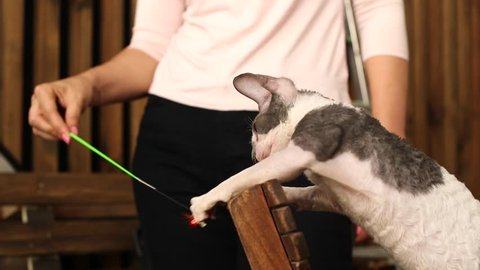 Cornish Rex kitten play. Slow motion