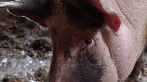 Muzzle of a huge pig close-up, a pig in a pigsty, a look of an animal
