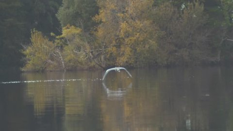 Grey heron flies over water surrounded by nature