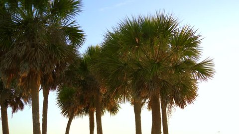 Palm trees at sunset light. View of palm trees against sky at sunset. Tropical palm trees sway in wind at sunset. Vibrant colors moving with the wind palm trees summertime beach sunset. Slow motion.