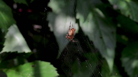 Orange spider capturing and eating an insect on a spiderweb. Predator arachnid catching fresh food on a cobweb.