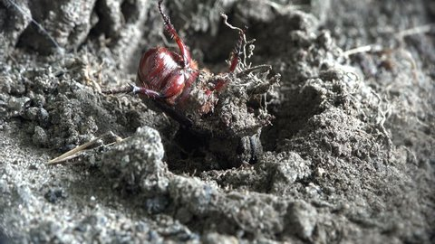 Two clasped horns and try to free themselves. Insect Dynastinae or rhinoceros beetles are subfamily of scarab beetle  family Scarabaeidae. groups of rhinoceros  – include Hercules, unicorn or horn