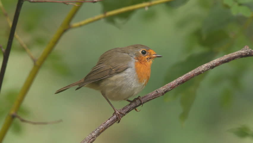 Robin bird animal perched on branch side view wathing alerted fly away beautiful green background | Shutterstock HD Video #1015805647