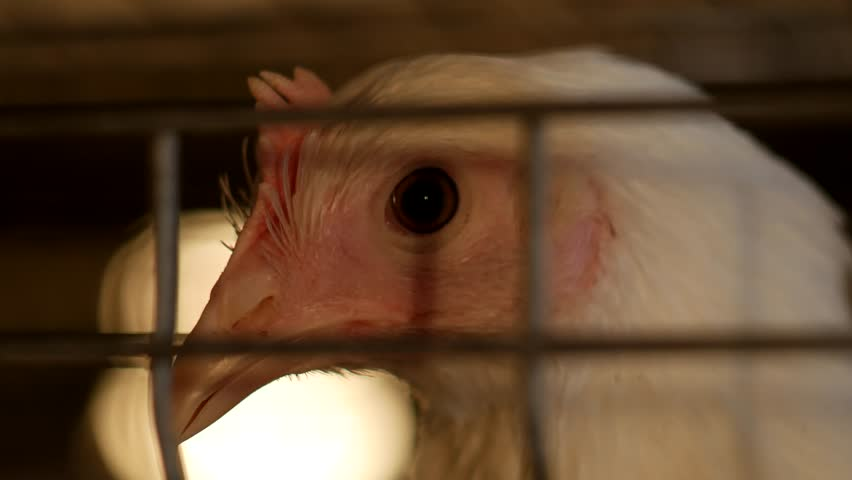 a young broiler chicken looks through the net of the enclosure at the poultry farm, breeding broiler chicks, close-up, chicken coop