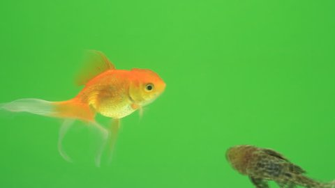 Gold fish on green screen