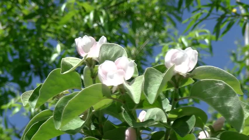Stock video of white rose tree big white rose 17578651 hd0008quince flowersapple quince blossom 05 mightylinksfo