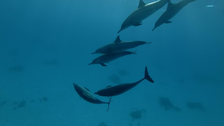 Group of dolphins playing in the blue water in mating season (Spinner Dolphin, Stenella longirostris) Close up, Underwater shot, 4K / 60fps