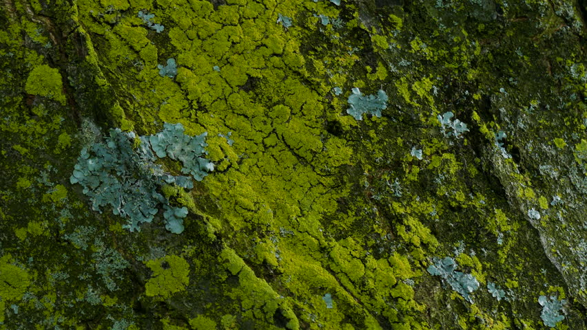 Close up of lichen and moss  growing on bark of a tree trunk in the autumn. slow pan down. | Shutterstock HD Video #1015906687