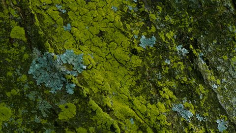 Close up of lichen and moss  growing on bark of a tree trunk in the autumn. slow pan down.