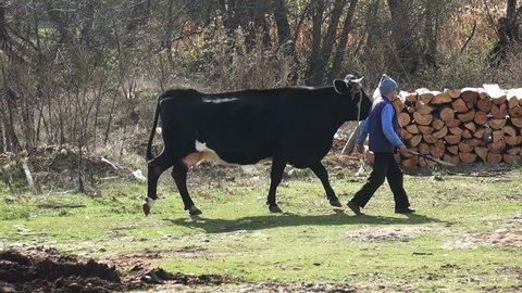 SKOPJE, MACEDONIA - 15 NOV, 2016: Farmer and cow at farmland