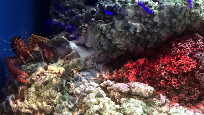 Red shrimp in the aquarium | Shutterstock HD Video #1015961407