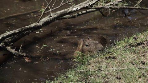 Capybara doing its thing, eating