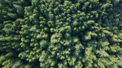 Forest with huge green trees from above by overhead drone shot. Pine trees, Spruce, Fir, Larch with different shades of green in morning light. Healthy looking forest in 4k aerial view