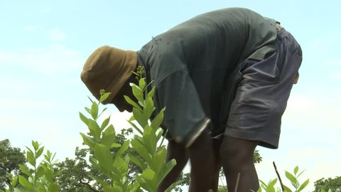 Ghana, West Africa - 2017: African man prepares a field for planting.