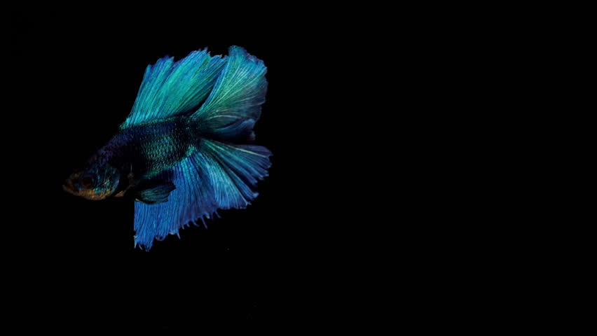Super slow motion of vibrant Siamese fighting fish Betta splendens, well known as Thai Fighting Fish or betta, is a species in the gourami family which is popular as an aquarium fish