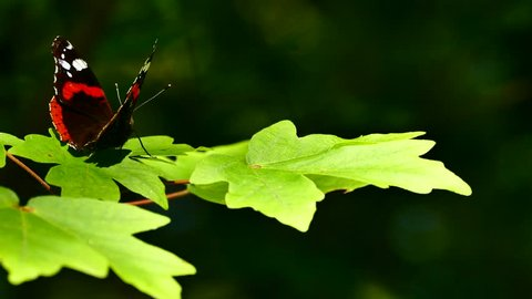 Beautiful butterfly sits on the green leaves of a tree branch. The butterfly wings its wings against a green background.