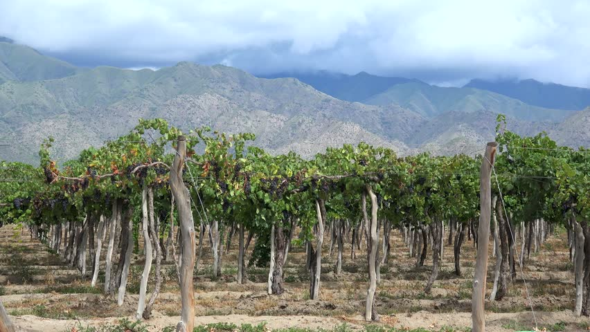 Vineyards of Cafayate (Criolla varieties). Calchaqui valleys, Salta province, Argentina