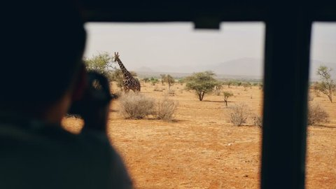 Photographer on safari photographs from the car of a wild giraffe who eats leaves on a bush in the African savannah with red earth, in the dry season, 4k