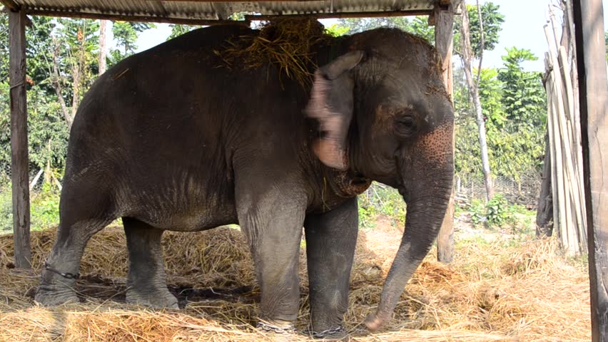 An elephant in the stall eats and chases flies | Shutterstock HD Video #1016085037
