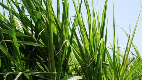 Sugar cane field in the north of Peru near Trujillo