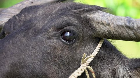 Thai Water Buffalo (Bubalus Bubalis) Grazing. Face Close Up