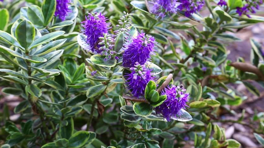 hebe x andersonii 'variegata' | 10161167 的库存视频 ...
