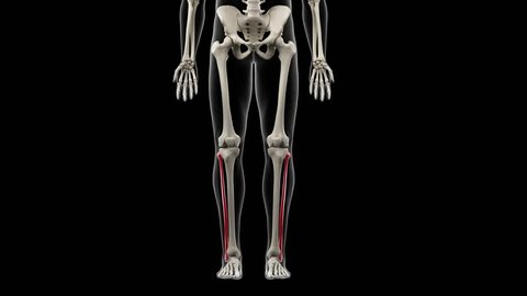 3d rendered medically accurate illustration of the fibula