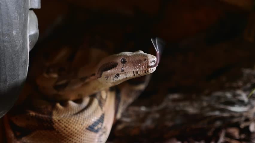 A close up of a snakes face, eyes, and tongue. Portrait of mperial boa constrictor.