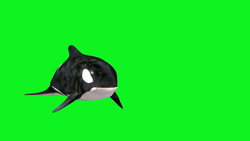 An orca whale swimming against a green screen. #1016242687