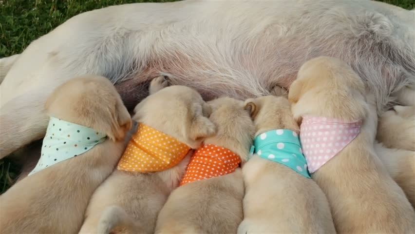 Group of newborn labrador retriever puppies massaging the breast of their mother to get milk - sucking and lying on the grass, camera slides