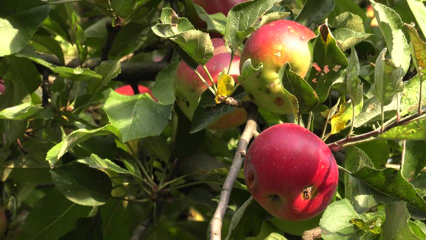 Red apples hanging on a branch. Healthy fruits. 4K, UHD, 50p, Cinematic