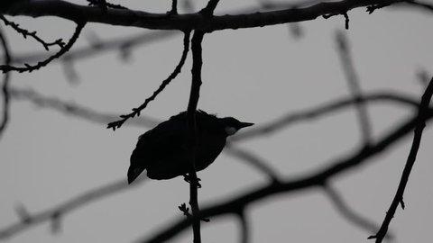 Tui Bird in a tree (Silhouette)