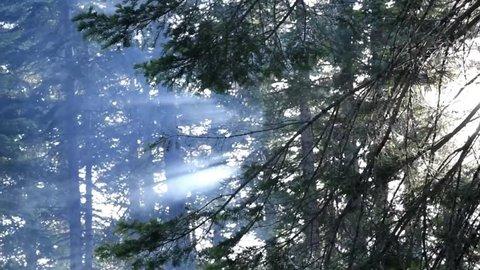 Smokey Through Forest Trees
